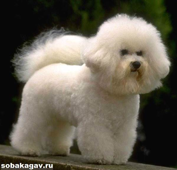 Бишон-фризе-собака-Описание-особенности-уход-и-цена-бишон-фризе-7