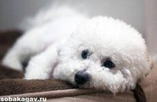 Бишон фризе собака. Описание, особенности, уход и цена бишон фризе
