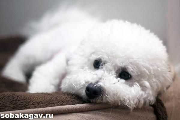 Бишон-фризе-собака-Описание-особенности-уход-и-цена-бишон-фризе-8
