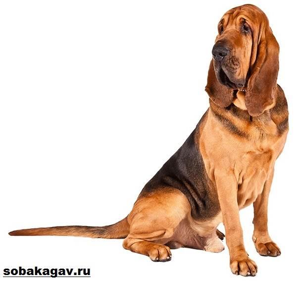 Бладхаунд-собака-Описание-особенности-уход-и-цена-бладхаунда-1