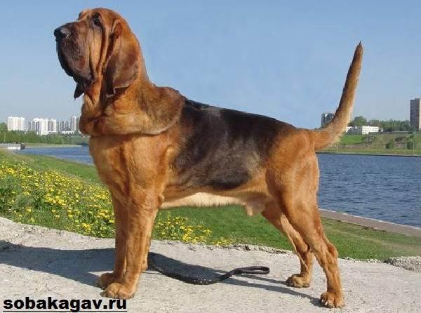 Бладхаунд-собака-Описание-особенности-уход-и-цена-бладхаунда-11