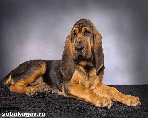 Бладхаунд-собака-Описание-особенности-уход-и-цена-бладхаунда-12