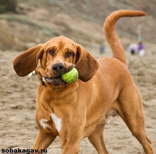 Бладхаунд-собака-Описание-особенности-уход-и-цена-бладхаунда-3