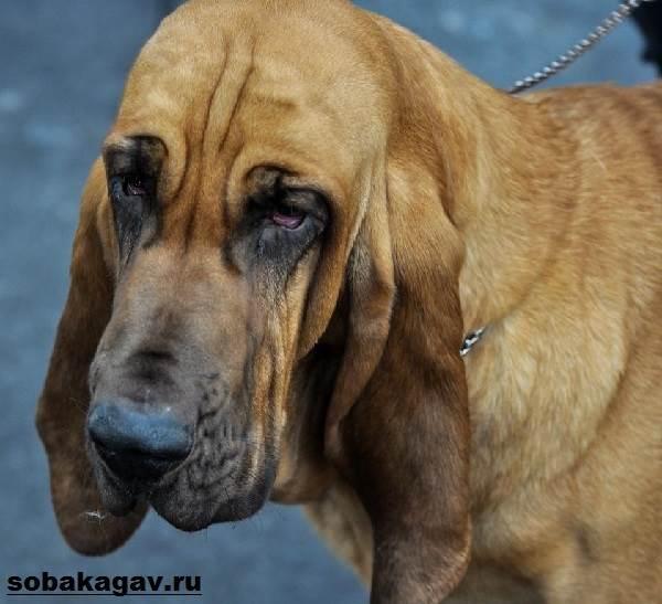 Бладхаунд-собака-Описание-особенности-уход-и-цена-бладхаунда-4