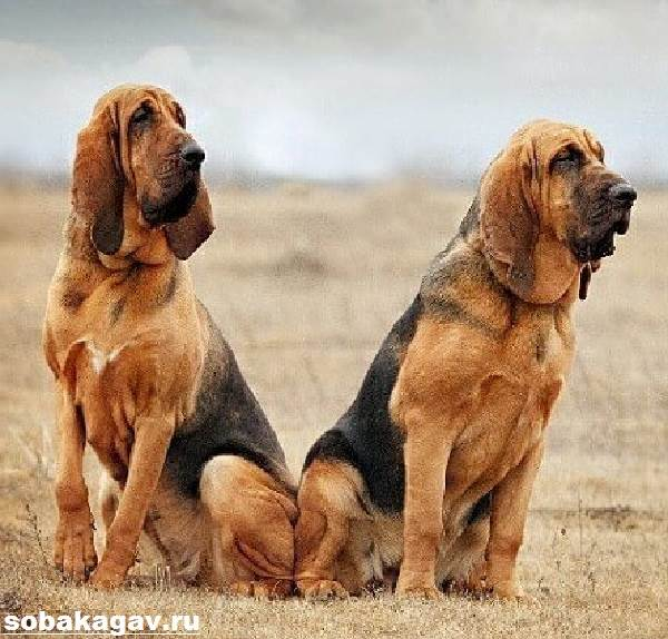 Бладхаунд-собака-Описание-особенности-уход-и-цена-бладхаунда-5