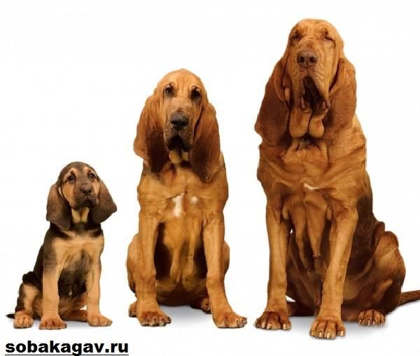Бладхаунд-собака-Описание-особенности-уход-и-цена-бладхаунда-6