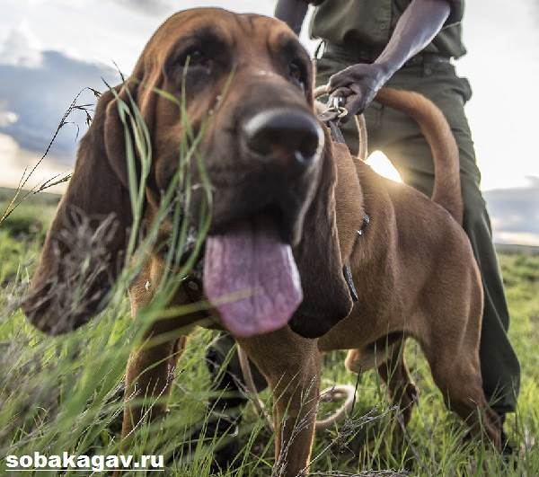 Бладхаунд-собака-Описание-особенности-уход-и-цена-бладхаунда-7