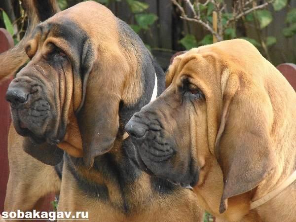 Бладхаунд-собака-Описание-особенности-уход-и-цена-бладхаунда-8