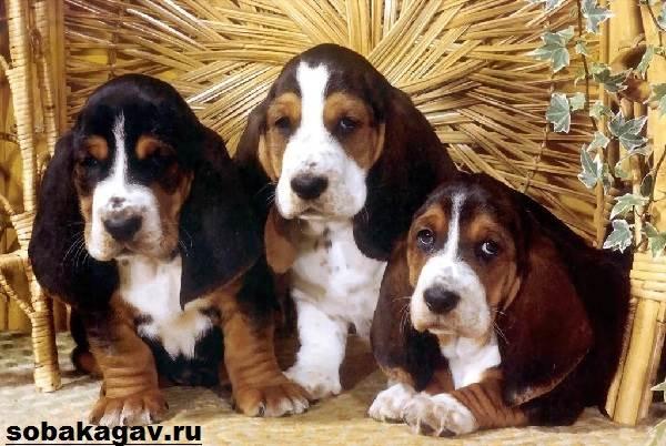 Бладхаунд-собака-Описание-особенности-уход-и-цена-бладхаунда-9