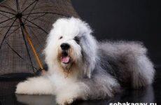 Бобтейл собака. Описание, особенности, уход и цена бобтейла