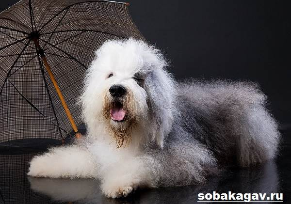 Бобтейл-собака-Описание-особенности-уход-и-цена-бобтейла-1