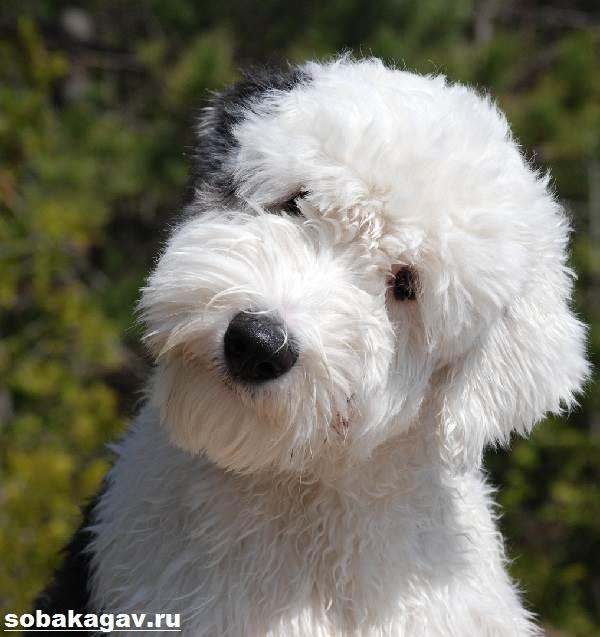 Бобтейл-собака-Описание-особенности-уход-и-цена-бобтейла-10