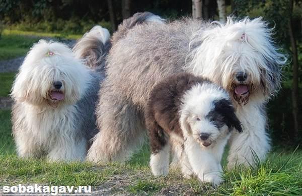 Бобтейл-собака-Описание-особенности-уход-и-цена-бобтейла-11