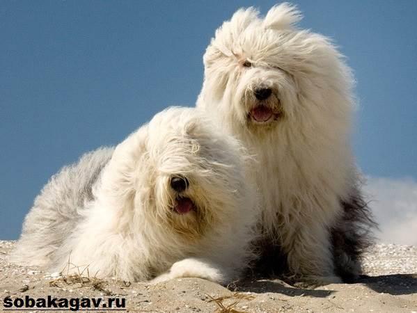Бобтейл-собака-Описание-особенности-уход-и-цена-бобтейла-4
