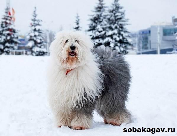Бобтейл-собака-Описание-особенности-уход-и-цена-бобтейла-5
