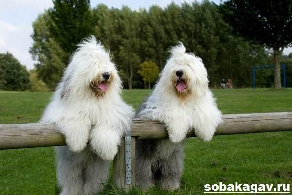 Бобтейл-собака-Описание-особенности-уход-и-цена-бобтейла-6