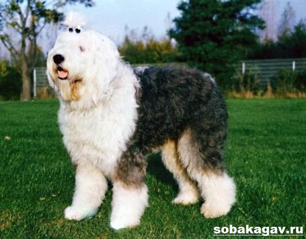 Бобтейл-собака-Описание-особенности-уход-и-цена-бобтейла-7