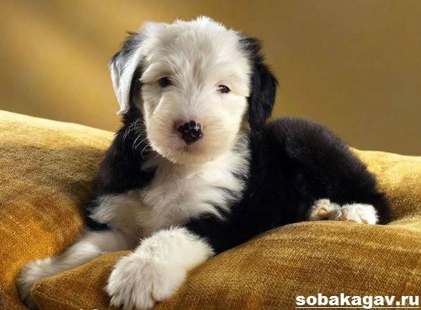 Бобтейл-собака-Описание-особенности-уход-и-цена-бобтейла-8
