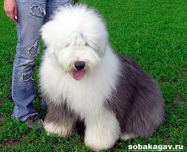 Бобтейл-собака-Описание-особенности-уход-и-цена-бобтейла-9