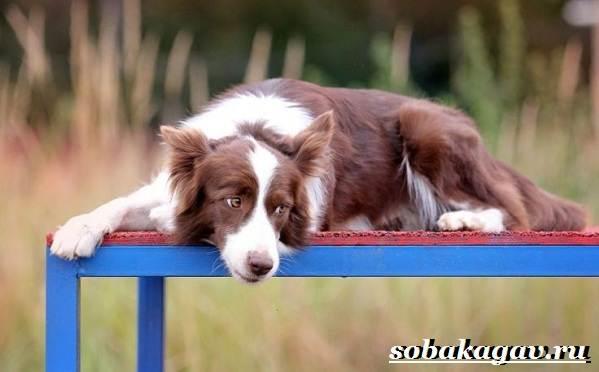 Бордер-колли-собака-Описание-особенности-уход-и-цена-бордер-колли-11