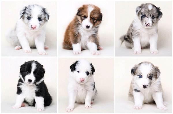 Бордер-колли-собака-Описание-особенности-уход-и-цена-бордер-колли-14