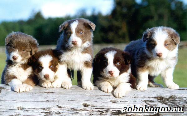Бордер-колли-собака-Описание-особенности-уход-и-цена-бордер-колли-15