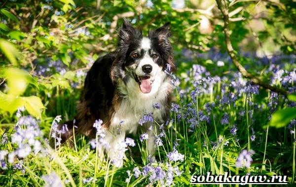 Бордер-колли-собака-Описание-особенности-уход-и-цена-бордер-колли-2