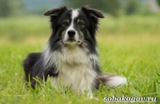 Бордер колли собака. Описание, особенности, уход и цена бордер колли