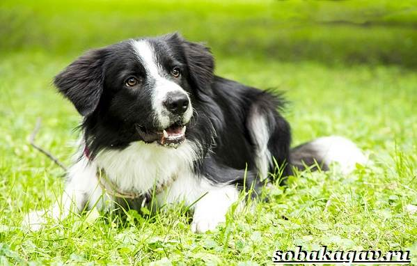 Бордер-колли-собака-Описание-особенности-уход-и-цена-бордер-колли