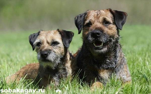 Бордер-терьер-собака-Описание-особенности-уход-и-цена-бордер-терьера-1
