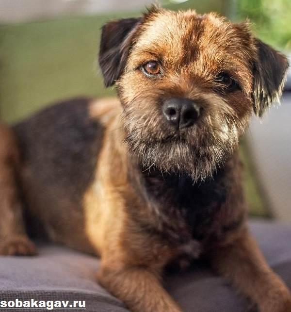 Бордер-терьер-собака-Описание-особенности-уход-и-цена-бордер-терьера-2
