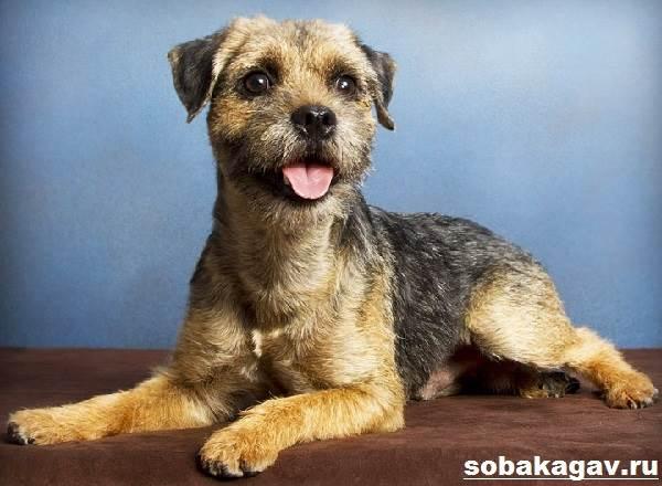 Бордер-терьер-собака-Описание-особенности-уход-и-цена-бордер-терьера-3