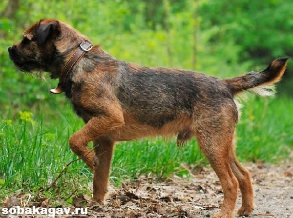 Бордер-терьер-собака-Описание-особенности-уход-и-цена-бордер-терьера-4