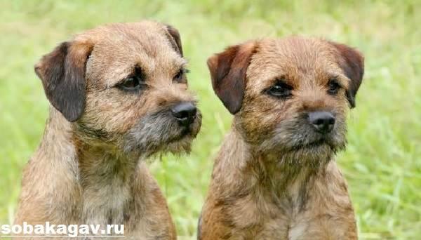 Бордер-терьер-собака-Описание-особенности-уход-и-цена-бордер-терьера-5