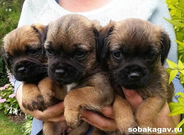 Бордер-терьер-собака-Описание-особенности-уход-и-цена-бордер-терьера-7