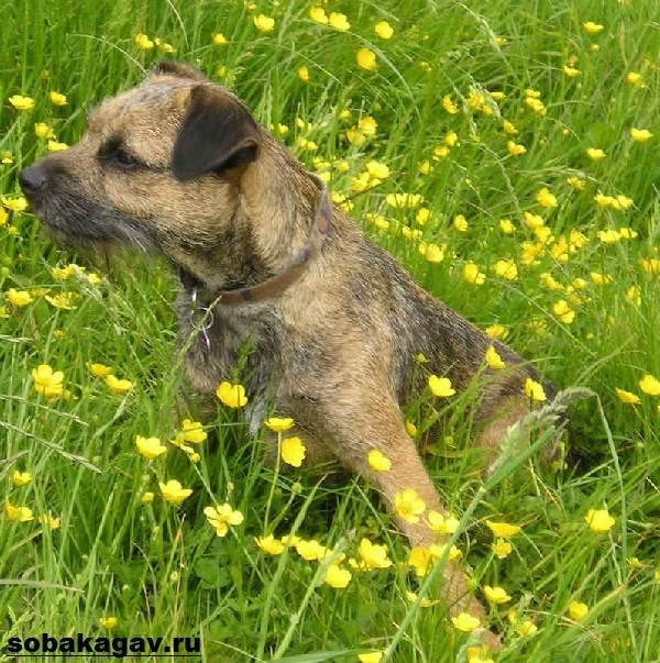 Бордер-терьер-собака-Описание-особенности-уход-и-цена-бордер-терьера-8