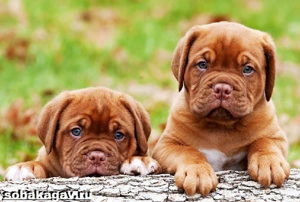 Бордосский-дог-собака-Описание-особенности-уход-и-цена-бордосского-дога-5