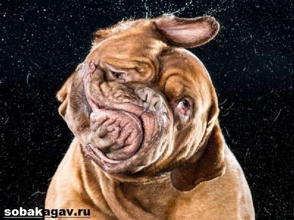 Бордосский-дог-собака-Описание-особенности-уход-и-цена-бордосского-дога-8