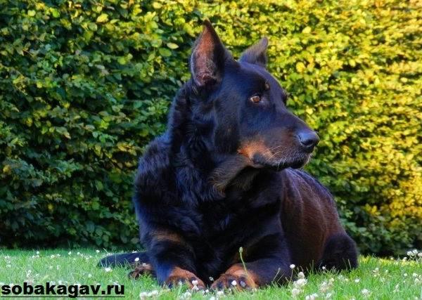 Босерон-собака-Описание-особенности-уход-и-цена-босерона-1