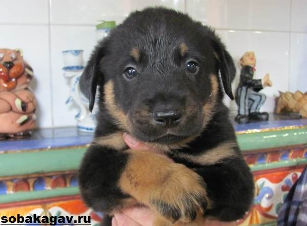 Босерон-собака-Описание-особенности-уход-и-цена-босерона-10