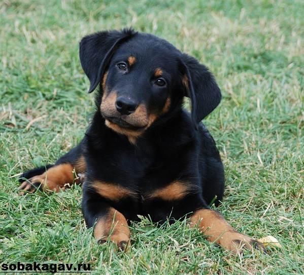 Босерон-собака-Описание-особенности-уход-и-цена-босерона-11