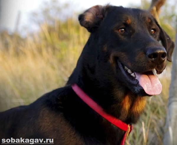Босерон-собака-Описание-особенности-уход-и-цена-босерона-2