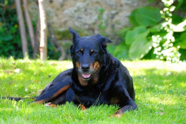 Босерон-собака-Описание-особенности-уход-и-цена-босерона-3