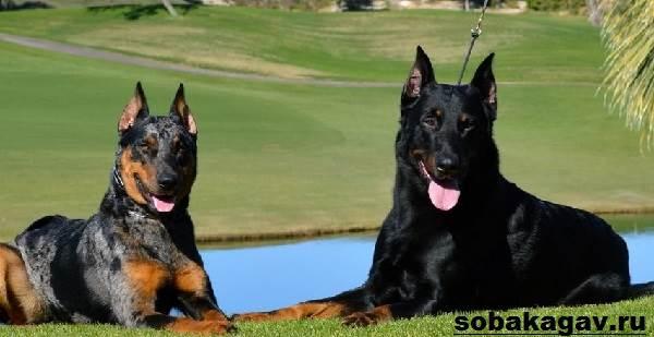 Босерон-собака-Описание-особенности-уход-и-цена-босерона-5