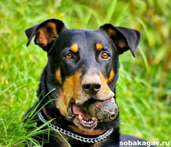 Босерон-собака-Описание-особенности-уход-и-цена-босерона-6