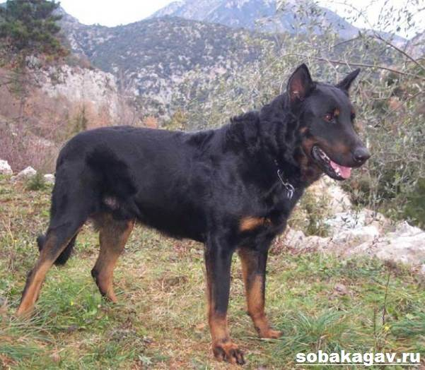 Босерон-собака-Описание-особенности-уход-и-цена-босерона-8
