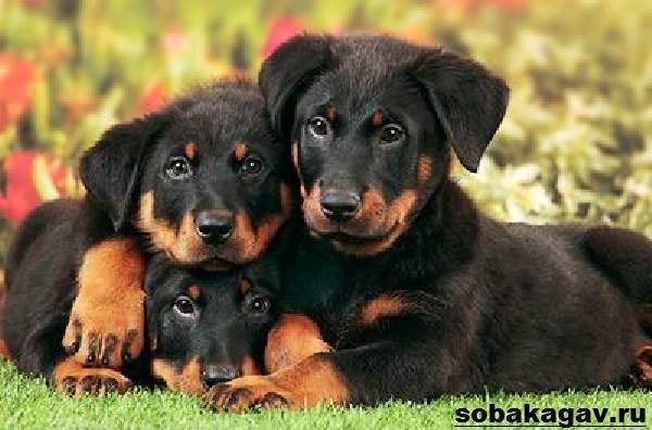 Босерон-собака-Описание-особенности-уход-и-цена-босерона-9