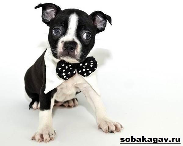 Бостон-терьер-собака-Описание-особенности-уход-и-цена-бостон-терьера-10