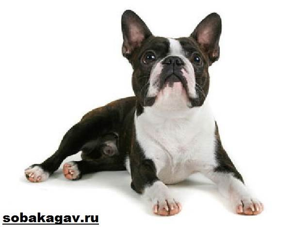 Бостон-терьер-собака-Описание-особенности-уход-и-цена-бостон-терьера-2