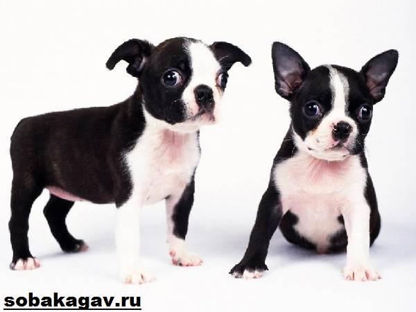 Бостон-терьер-собака-Описание-особенности-уход-и-цена-бостон-терьера-3